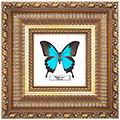Papilio ulysses, 33*33 см, 180016