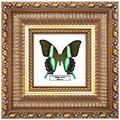 Papilio blumei, 33*33 см, 180017