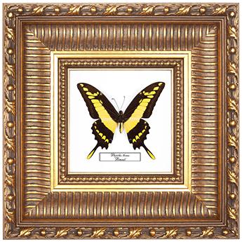 Papilio androgeus, 33*33 см, 180020