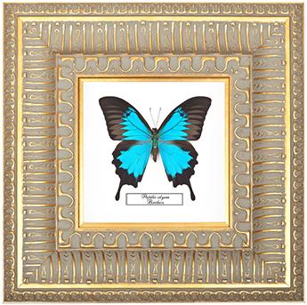 Papilio ulysses, 30*30 см, 180043