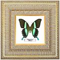 Papilio blumei, 30*30 см, 180044
