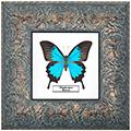 Papilio ulysses, 27*27 см, 180047