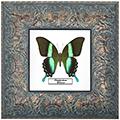 Papilio blumei, 27*27 см, 180048