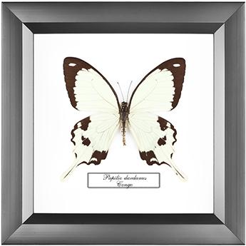 Papilio dardanus, 18*18 см