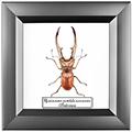 Cyclommatus metallifer aenomicans, 14*14 см