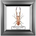 Cyclommatus metallifer, 14*14 см