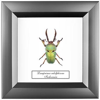 Lamprima adolphinae, 14*14 см