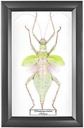 Heteropteryx dilatatta F 160 мм, 18*28 см