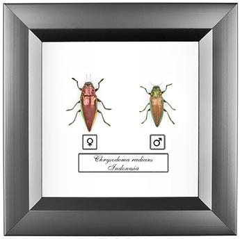 Chrysodema radians F+M, 14*14 см