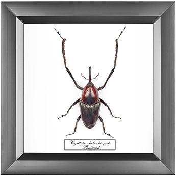 Cyrttotrachelus buqueti, 18*18 см