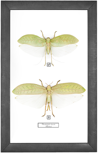 Pseudophyllus hercules F+M, 26*41 см