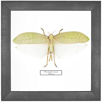 Pseudophyllus hercules F, 26*26 см