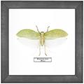 Pseudophyllus hercules M, 26*26 см
