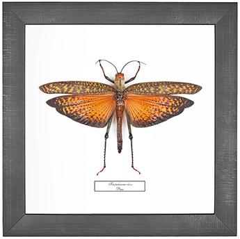 Tropidacris dux, 26*26 см