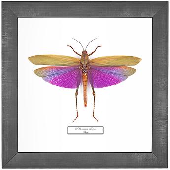 Titanacris albipes F, 26*26 см