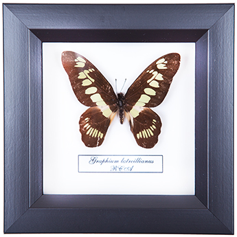 Graphium latreillianus, 14*14 см