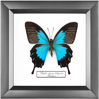 Papilio ulysses telegonus, 18*18 см