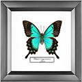 Papilio lorquinianus, 18*18 см