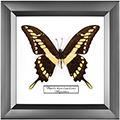 Papilio thoas brasiliensis, 18*18 см