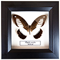 Papilio zenobia, 14*14 см