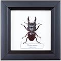 Dorcus taurus, 14*14 см