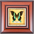 Papilio blumei, 30*30 см, 18013