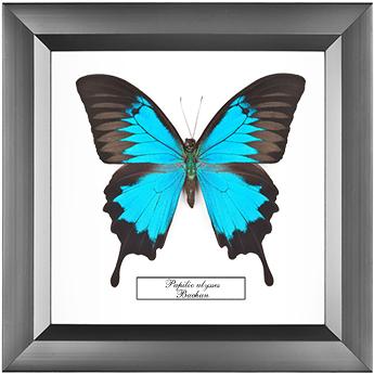 Papilio ulysses, 18*18 см