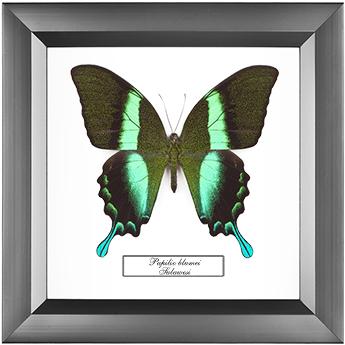 Papilio blumei, 18*18 см