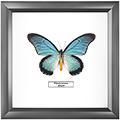 Papilio zalmoxis, 25*25 см
