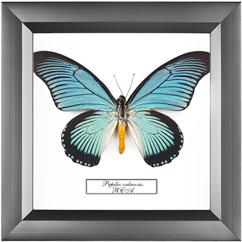 Papilio zalmoxis, 18*18 см