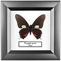 Eurytides xynias, 14*14 см