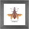 Macrodontia cervicornis 120 мм, 27*27 см