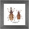 Macrodontia cervicornis 120 мм F+M, 27*27 см