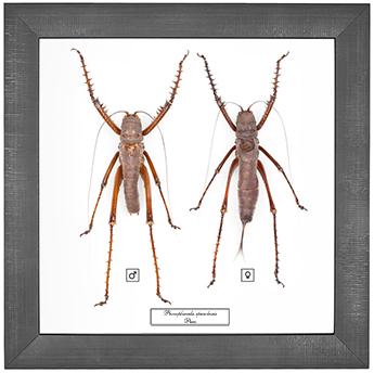Panoploscelis specularis F+M, 26*26 см