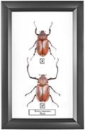 Euchirus longimanus F+M, 18*28 см