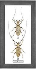 Pseudommeges marmoratus F+M, 18*35 см