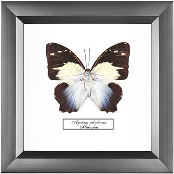 Agatasa calydonia, 18*18 см