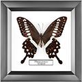 Papilio lormieri, 18*18 см