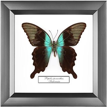 Papilio peranthus, 14*14см