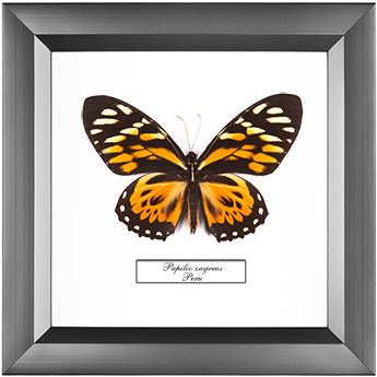 Papilio zagreus, 18*18 см
