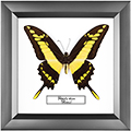 Papilio thoas, 18*18 см