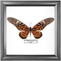 Papilio antimachus, 25*25 см